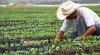 Starbucks Mexico donates rust resistant coffee plants to farmers in Chiapas, Mexico