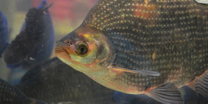 Wound healing and a better wound dressing using the skin of tilapia fish